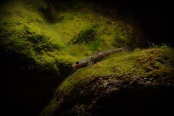 Rhinogobius duospilus