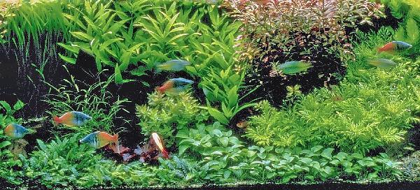 Regenboogvis aquarium