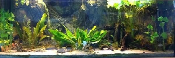 Flinke vleug Amazone biotoop aquarium