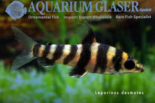 Leporinus desmotes juveniel