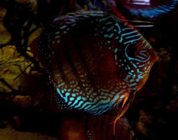 Symphysodon Nhamunda