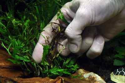 Zwarte bladeren van de Microsorum worden verwijderd bij de aanhechting met de wortelstok.