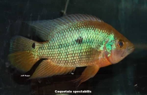 Caquetaia spectabilis