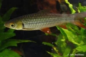 Leptobarbus