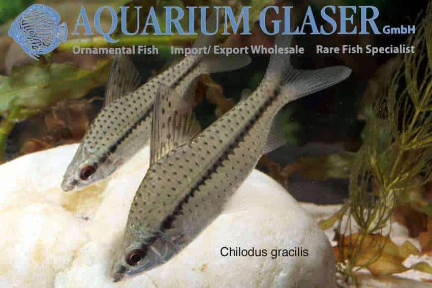 Chilodus gracilis
