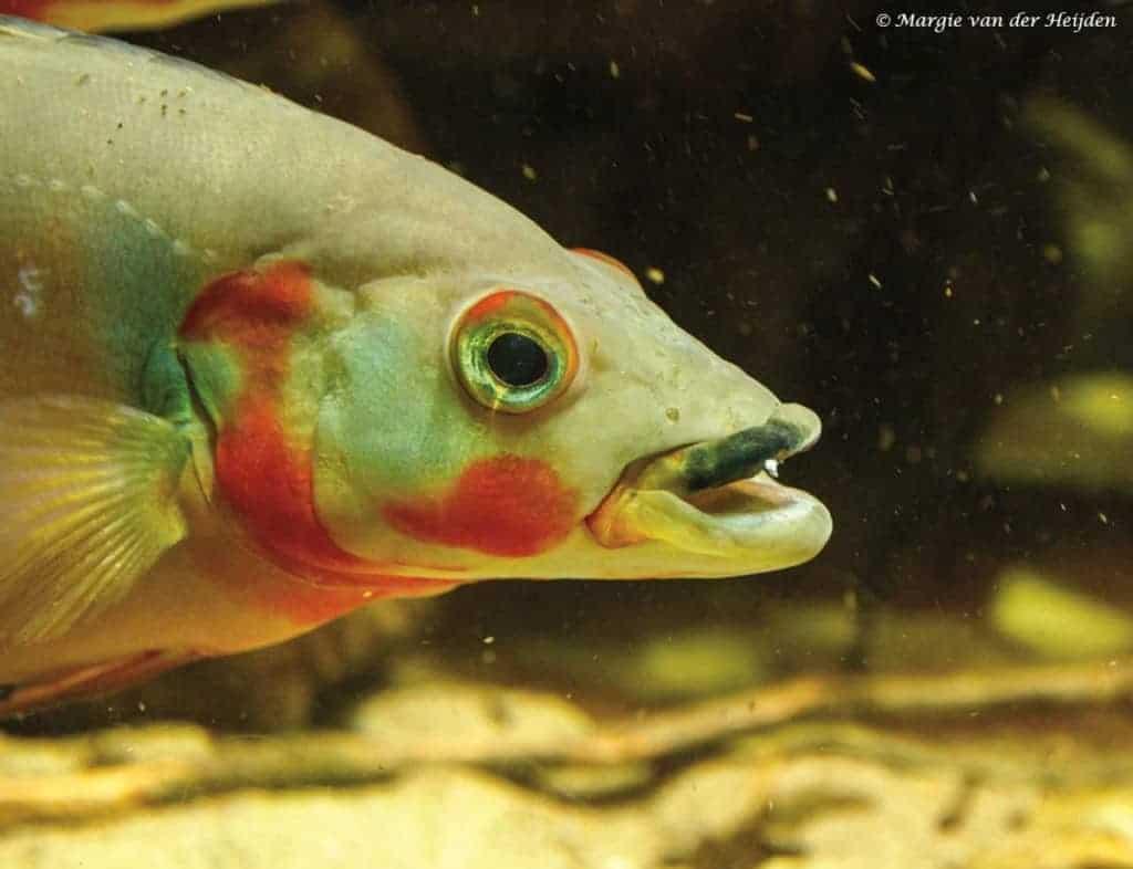 Crenicichla lugubris – Rode Snoekcichlide