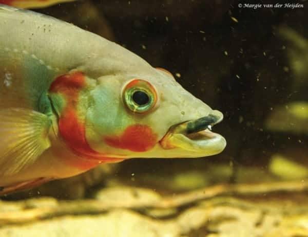Crenicichla lugubris - Rode Snoekcichlide