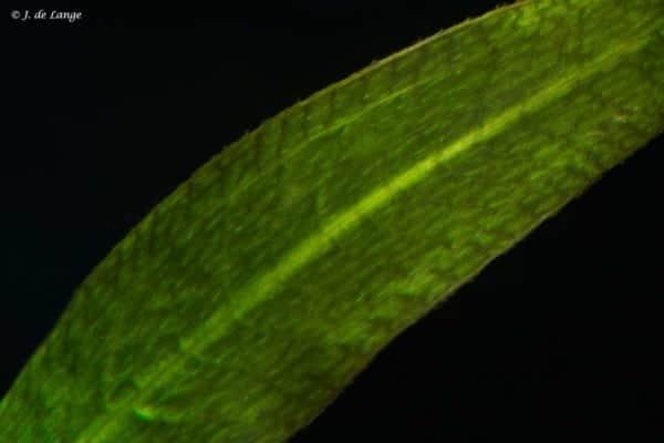 Echinodorus amazonicus - Smalbladige Zwaardplant - Detail van het blad