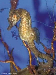 Hippocampus hippocampus - Kortsnuit Zeepaardje
