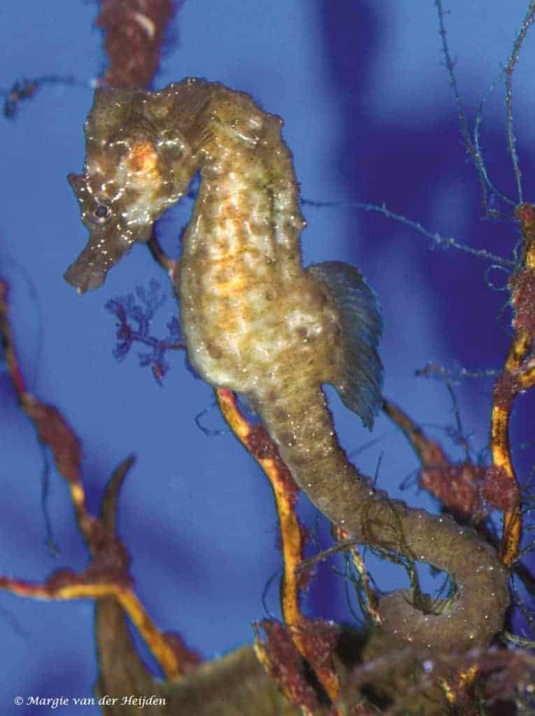 Hippocampus hippocampus – Kortsnuit Zeepaardje