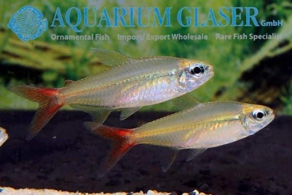 Moenkhausia copei - Venezuela