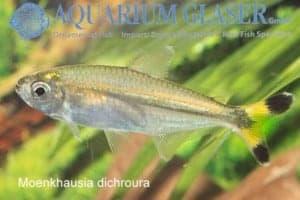 Moenkhausia dichroura