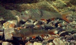 Hampala macrolepidota - Volwassen exemplaren in het aquarium