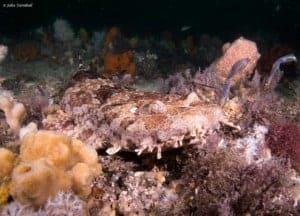 Orectolobus ornatus - Sierlijke Bakerhaai