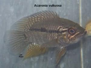 Acaronia vultuosa