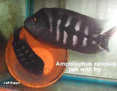 Amphilophus zaliosus - koppel