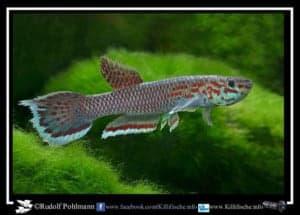 Aphyosemion pascheni Mougue ABL 08-200