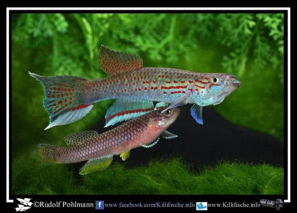 Aphyosemion pascheni pascheni ABK 2007-167