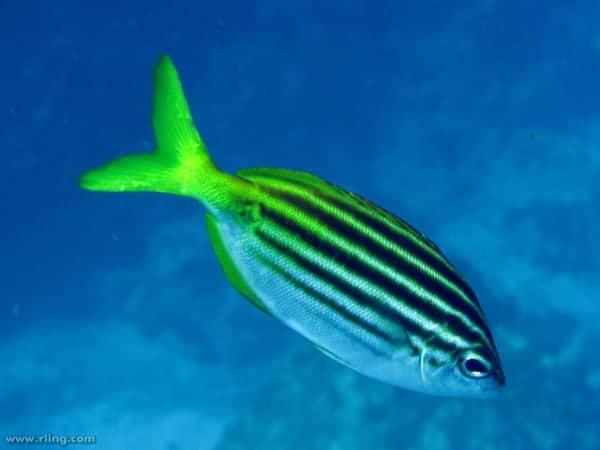 Atypichthys strigatus