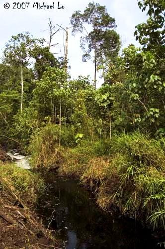 Betta persephone - habitat - Johor
