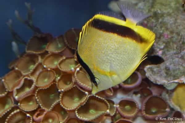Prognathodes aya
