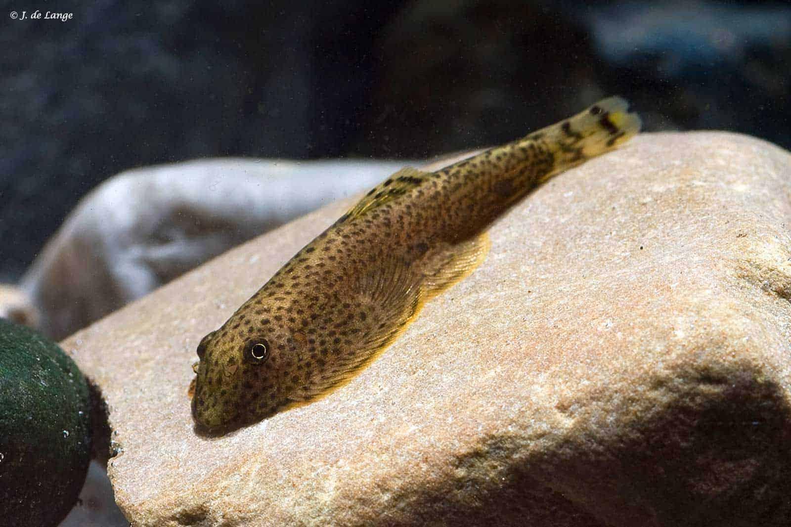 Gastromyzontidae