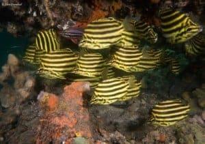 Microcanthus strigatus