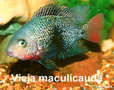 Vieja maculicauda - Halfvolwassen