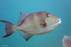 Balistes capriscus - Grijze Trekkersvis