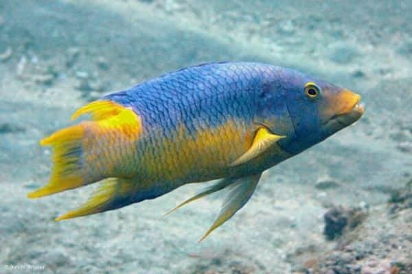 Bodianus rufus - Spaanse Zwijnslipvis