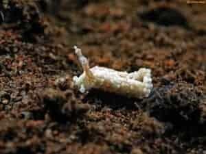 Aeolidiidae