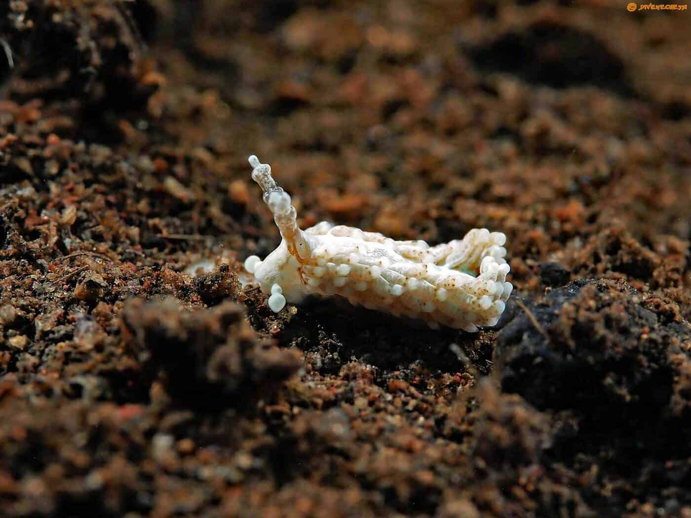 Bulbaeolidia paulae