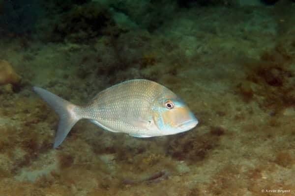 Calamus penna - Schaapskop Zeebrasem