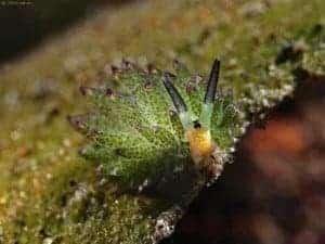 Limapontiidae