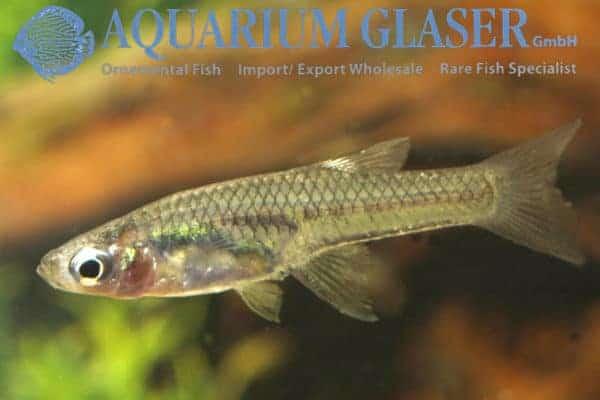 Girardinus falcatus - Vrouw