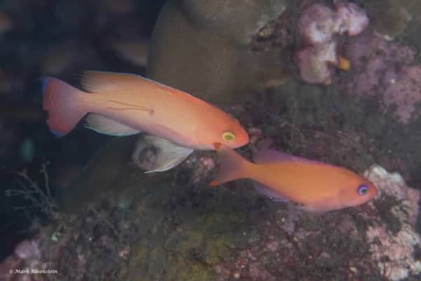 Pseudanthias hypselosoma - Man en vrouw