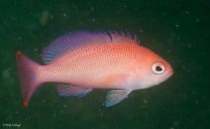 Pseudanthias rubrizonatus
