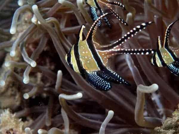Pterapogon kauderni - Juweel Kardinaalbaars