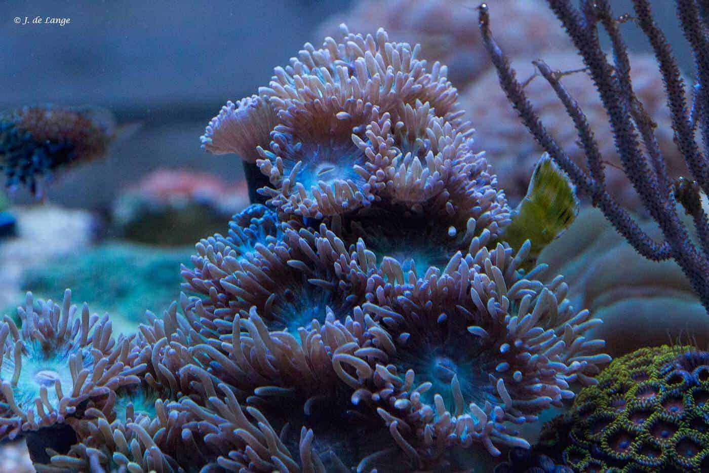 Duncanopsammia axifuga - Duncan Koraal