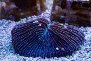 Fungia fungites - Rainbow