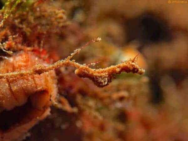 Kyonemichthys rumengani