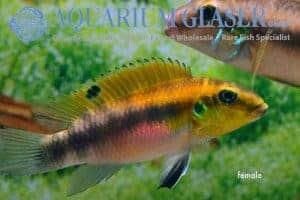 Pelvicachromis rubrolabiatus Dinkinya vrouw