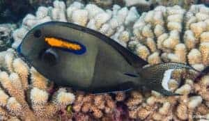 Acanthurus Olivaceus - Tweekleurige Doktersvis