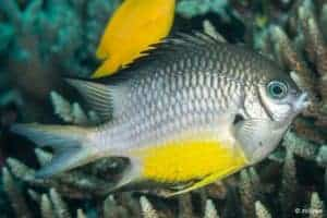 Amblyglyphidodon leucogaster - Geelbuik Juffer