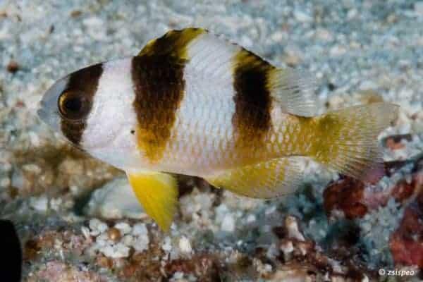 Amblypomacentrus breviceps - Juveniel