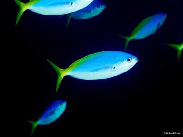 Caesio teres - Geel en Blauwrug Fuselier