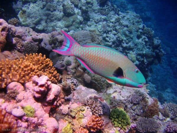 Cetoscarus ocellatus - Osprey Reef - Koraalzee