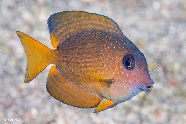 Ctenochaetus binotatus - Blauwoog Borsteltanddoktersvis - Juveniel