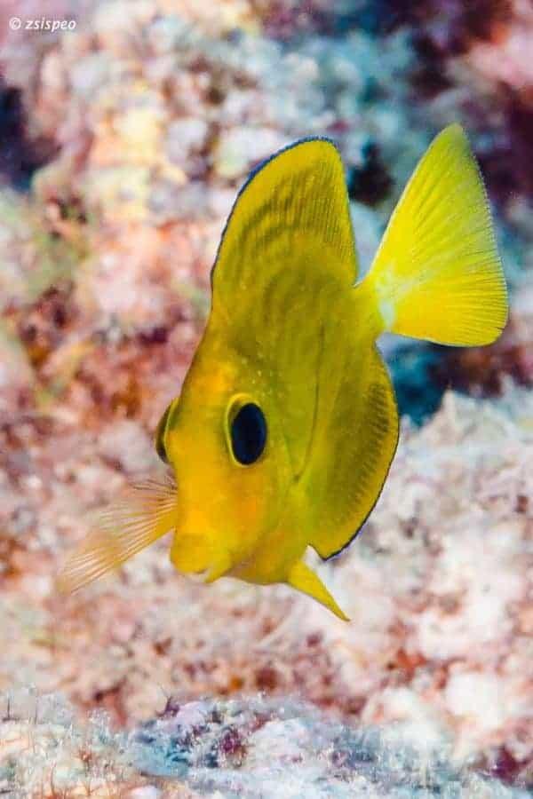 Ctenochaetus flavicauda - Juveniel