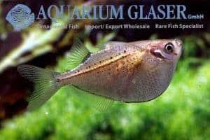 Gasteropelecus maculatus - Reuze Bijlzalm